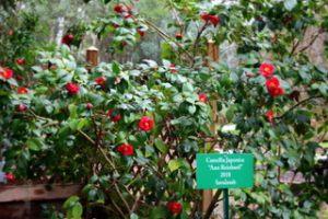 Camellia_3