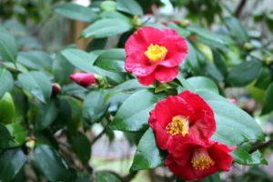 Camellia_4