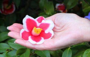 Camellia_5