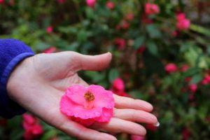 Camellia_6