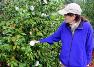 Camellia_9